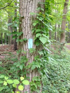 Poison ivy helps mark the trail in Brecksville Reservation near the end of the Medina Section of the Buckeye Trail.