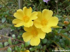 purslane | yellow | good ground cover if needed, easy to grow, comes in yellow, apricot and an orange as well. perfect as a low plant in a pot, or in between taller plants in flower bed.