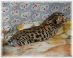 Bengal Cats For Adoption Houston Tx