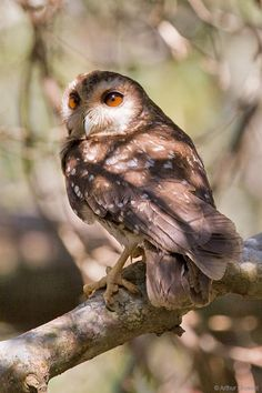 Bare-legged Owl Margarobyas lawrencii - Google Search