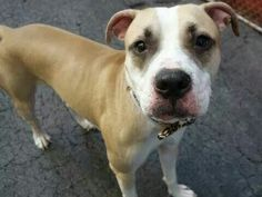 TO BE DESTROYED 09/18/14 Manhattan Center -P  My name is MASCARA. My Animal ID # is A1013980. I am a male yellow and white am pit bull ter. The shelter thinks I am about 1 YEAR  I came in the shelter as a OWNER SUR on 09/13/2014 from NY 10453, owner surrender reason stated was OWNER SICK. I came in with Group/Litter#K14-194143. https://m.facebook.com/photo.php?fbid=871848646161349&id=152876678058553&set=a.611290788883804.1073741851.152876678058553&source=46