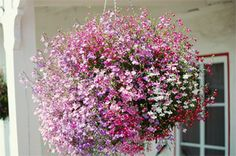 Looking for a great gift idea for Mother's Day? Try a hanging basket that she can enjoy all season. WVU Extension experts tell you how to select or create the perfect hanging flower basket.