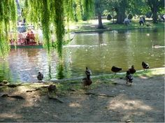 Lots of ducks Boston Public Garden, Willow Tree, Ducks, Swan, Pond, Pretty, Nature, Art, Craft Art