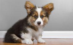 Scarica sfondi Pembroke Welsh Corgi, simpatici animali, cucciolo, cani, welsh corgi