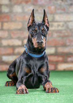 #Mika 13 Months old Doberman Girl the sister of Luga Fantastic nature perfect work ethics this is one to look out for ! PDW http://www.protectiondogs.co.uk/dogs/mika/