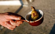 The barbaric practice of cooking and eating the delicate ortolan songbird   whole is making a comeback