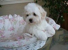 coton de tulear puppies - Google Search