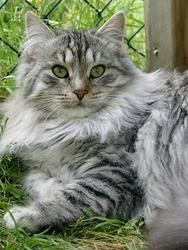 Cats mainecoon kitty 22 Ideas for 2019 Siberian Forest Cat, Siberian Cat, Puppies And Kitties, Cats And Kittens, Pretty Cats, Beautiful Cats, Chat Maine Coon, Super Cat, Norwegian Forest Cat