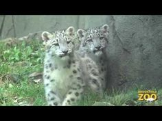 Chicago Zoological Society - Snow Leopard Cubs Make Debut Brookfield Zoo, In The Zoo, Pug Puppies, Leopards, Snow Leopard, Spirit Animal, Big Cats, Cubs, Lions