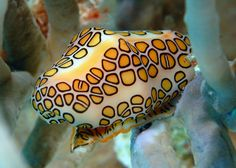 Flamingo tongue snail | Flickr - Photo Sharing!  beauty beneath the waves