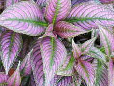 11 great shade pñants for container gardens Full Frame Shot Of Persian Shield Plant Leaves Full Shade Plants, Shade Shrubs, Potted Plants Patio, Balcony Plants, Planters, Planter Boxes, Patio Shade, Shade Garden, Garden Shrubs