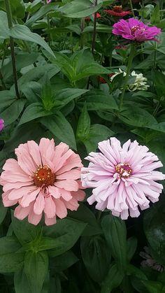 Chrysanthemums, Zinnias, Photographs, Flower, Beautiful Flowers, Plants, Flowers, Photos, Cake Smash Pictures