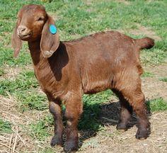 Boer Goats | Individual Record at Rebel Ridge Boer Goats