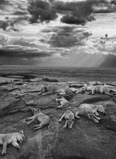"""Der amerikanische Fotograf Michael 'Nick' Nichols wurde in London zum """"Wildlife Photographer of the Year"""" gewählt"""