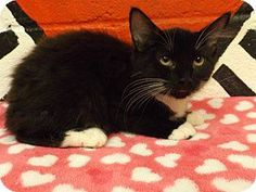 I AM A FEMALE DSH BLACK/WHITE OR TUXEDO KITTEN (ID #FCAC 0682 AND MY SISTER IS FCAC 0683!) AND WE WILL BE AVAILABLE FOR FOSTER/ADOPTION/RESCUE THURSDAY, JUNE 26, 2014! WE ARE AT FLOYD COUNTY ANIMAL CONTROL, 431 MATHIS ROAD SE, ROME, GA  (706) 236-4545 and (706) 236-4537. WE WOULD LOVE TO LIVE WITH YOU! PLEASE SHARE/PLEDGE/FOSTER/ADOPT/RESCUE, WHATEVER YOU CAN DO! THANK YOU!