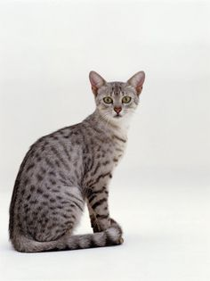 Cat ~ this one is an Egyptian Mau ~ One of the oldest known breeds.