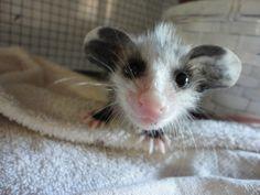 baby dumbo rat                                                                                                                                                                                 More