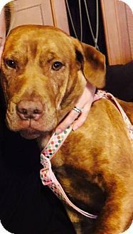 This sweet girl deserves a real chance at love...New York NY - Pit Bull Terrier Mix. Meet Hope a Dog for Adoption.
