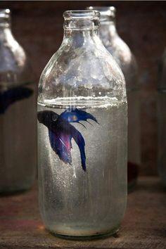 siamese fighting fish in a bottle, WAYYY too small for a betta. Beta Fish, Fish Fish, Siamese Fighting Fish, Tumblr, Beautiful Fish, Beautiful Things, Bottles And Jars, Mason Jars, Jolie Photo