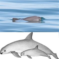 Help save the world's most endangered marine mammal. Your donation helps to test and put into use vaquita-safe fishing nets, eliminating the main threat to this rare porpoise: incidental catch in fishing gear.