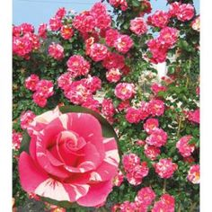 Weeks Roses® Candy Land