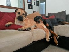 Look! This means Balou and our Boerboel can be friends!!