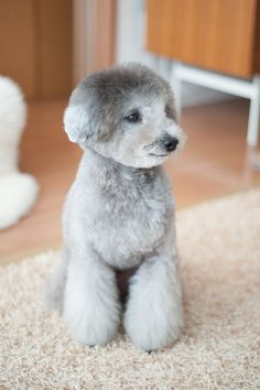 #toypoodle #silverpoodle love this fluffy #haircut ♡