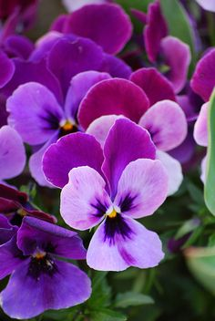 Pansy ~ my favorite flower of all time. Favorite color too. Learned from mom it had been my grandmothers as well :)