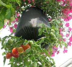 Cómo cultivar tomates al revés en botellas de plástico | curiosidata.com