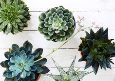 Tiesitkö, että rahapuu ja anopinkieli ovat mehikasveja? Lajit voivat muistuttaa ulkonäöltään myös ruusuketta tai tähteä. Lue juttu ja tutustu eri mehikasvilajeihin! House Plants, Succulents, Indoor House Plants, Foliage Plants, Succulent Plants, Houseplants, Apartment Plants