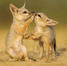 Fennec Fox Kits