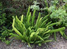 Luxurious Asparagus Fern Asparagus Densiflorus Myers