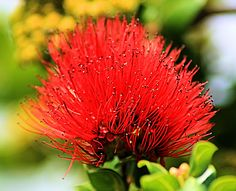 Red Ohia Lehua taken in my parents backyard Photography Portfolio, Parents, Backyard, Landscape, Nature, Flowers, Red, Pictures, Beautiful