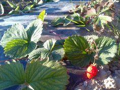Maduixera i maduixa, Strawberry plant and its fruit, Fresa y su fruto.     From: ca n'Aladesa growings in Sant Feliu de Llobregat  De: Conreus de ca n'Aladesa a Sant Feliu de Llobregat