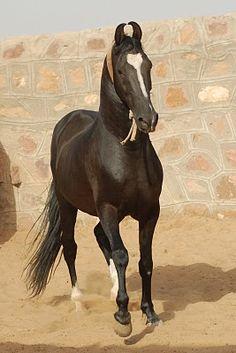Marwari stallion Suraj of Vill Manakla.  The Marwari is a rare breed of horse from the Marwar (or Jodhpur) region of India, known for its inward-turning ear tips.