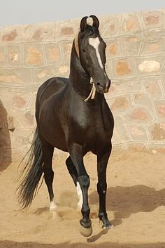 This is a Marwari horse, a breed from India. If I ever have enough money for it I would love to import one from overseas. I think this breed is gorgeous, and not just for their unique ears. I'd looove to have one in my barn.