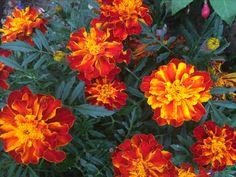 Spanish Lavender, Marigold, Garden, Flowers, Plants, Lawn And Garden, Florals, Gardens, Plant