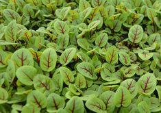 What We Grow - Cahaba Clubs Herbal Outpost Lemon Basil, Thai Basil, Cinnamon Basil, Micro Herbs, Cress, Edible Flowers, Fennel, Hydroponics, Sprouts