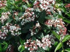 viburnum tinus flor ( otoño)