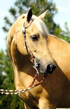 SHALLOW CREEK'S ANNA (Shallow Creek Cuervo Gold x HRG Jackson Hole), 2002 palomino mare owned by Celebrity Morgans.