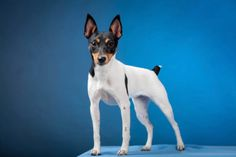 Adopt a purebred Toy Fox Terrier puppy today! VIP Puppies works with elite Toy Fox Terrier breeders across the USA. Browse Toy Fox Terrier puppies now. Toy Dog Breeds, Cute Dogs Breeds, Small Dog Breeds, Toy Fox Terrier Puppies, Terrier Dog Breeds, Rat Terriers, Pet Dogs, Dogs And Puppies, Dog Cat