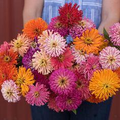 Cactus Flowered Mix