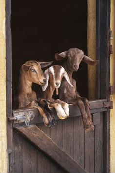 love goats .silly humans.yeah locking the door on us .they really think that will stop us from getting out hahaha.