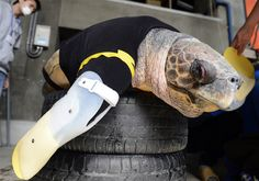 Fake flippers  Yu, an approximately 25-year-old female loggerhead turtle, receives her 27th pair of artificial front legs at the Suma Aqualife Park in Kobe on Feb. 12. Yu lost her front legs during a shark attack.