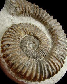 Google Afbeeldingen resultaat voor http://fossilspictures.files.wordpress.com/2009/02/aegocrioceras-sp-01b.jpg