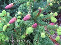 http://www.drzewa.com.pl/2536-swierk-pospolity-acrocona-picea-abies-acrocona.html