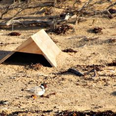 #FunFactFriday - The Hooded Plover has a NEW scientific name! The scientific name of the Hooded Plover has recently changed from Thinornis rubricollis  to Thinornis cucullatus. Cucullatus in latin means hooded. For more fun facts make sure you turn on your notifications ... #savethehoodie #gorcc #greatoceanroad #hoodedplovers #hoodie #hoodedplover #birds #namechange #scientificname by savethehoodie