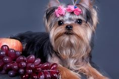 Can Dogs Eat Grapes? | WOOFipedia by The American Kennel Club