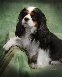 Cavalier King Charles Spaniel, we had one of these roaming the neighborhood when we first moved here, I think everybody in the neighborhood fed it..