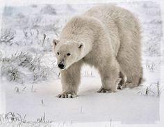 Love Polar Bears!